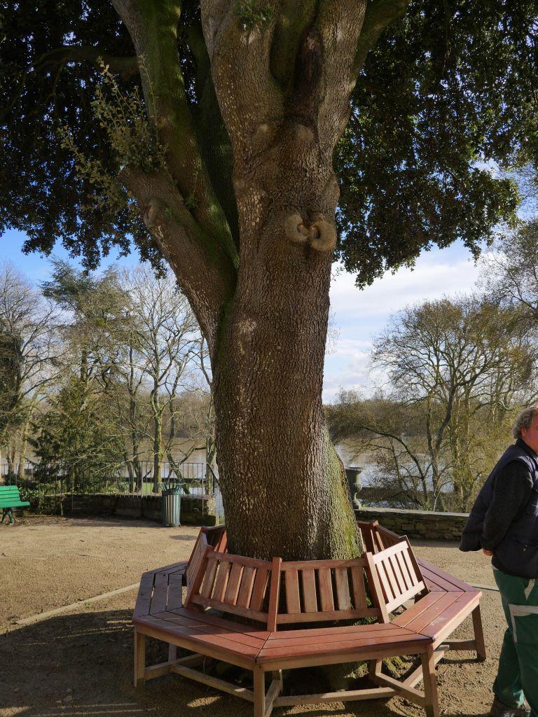 Un arbre remarquable à Ste Gemmes sur Loire